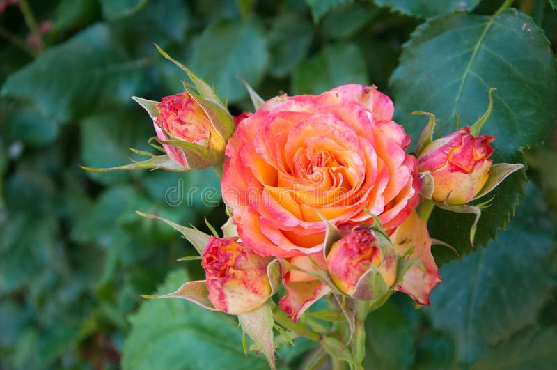 Delicate yellow coral rose grows on a background of green leaves. Garden. Summer royalty free stock photography