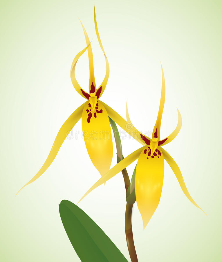Delicate Yellow Orchids with Patches, Vector Illustration stock photography