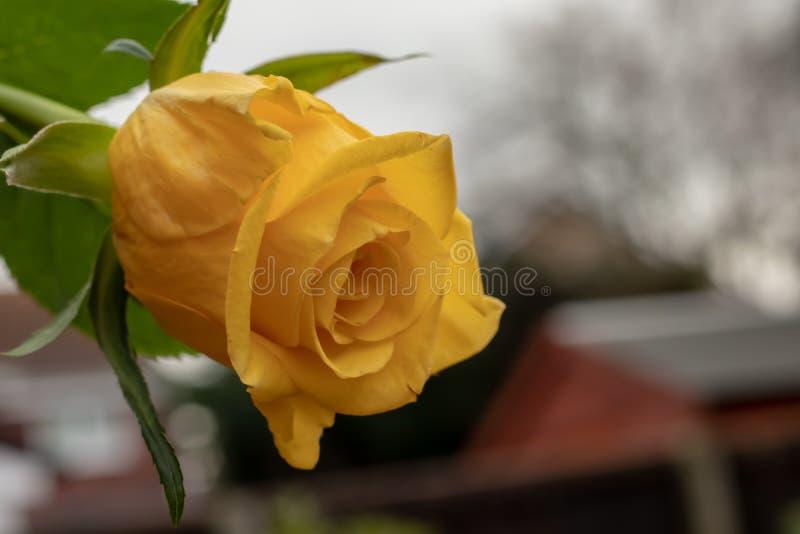 Delicate yellow rose in autumn. A single, delicate, yellow rose flowering in the late autumn stock photos