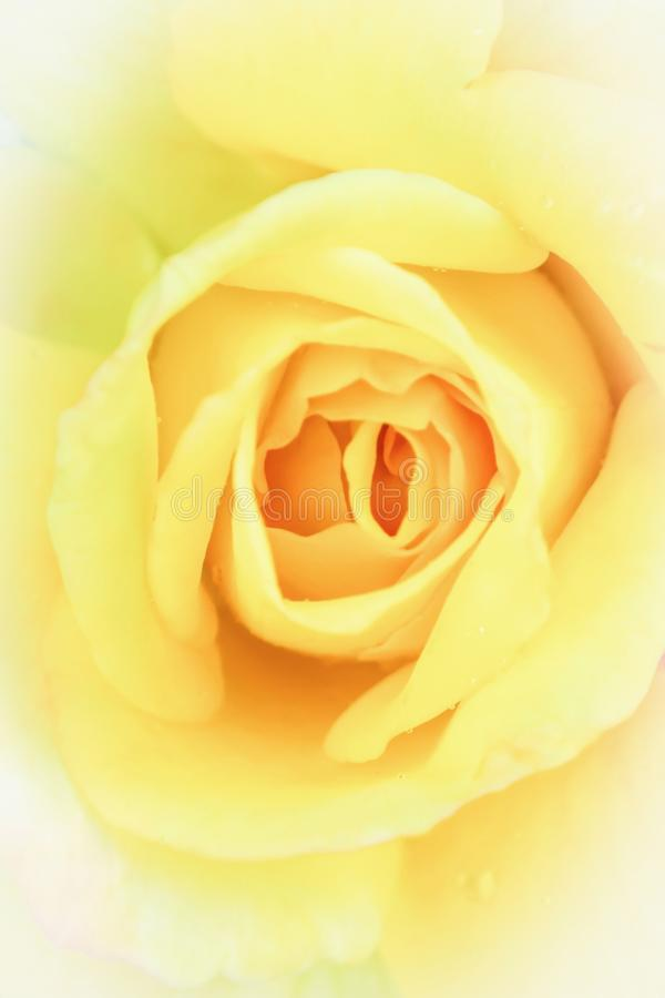 Delicate yellow rose in soft style for background. Pastel and soft floral card. stock photography