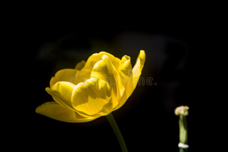 Delicate yellow tulip on black background. Delicate and aglimmer yellow natural tulip on black background royalty free stock photography