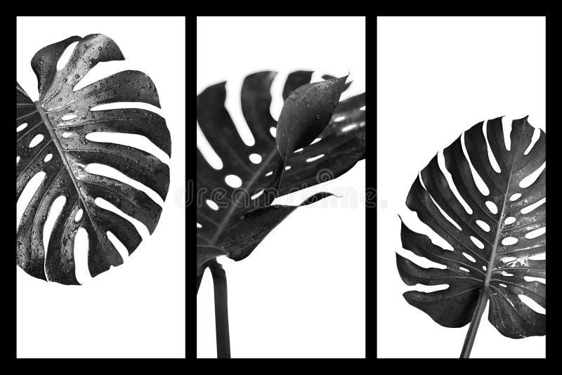 Deliciosa Monstera ή ελβετικά φύλλα φυτών τυριών τροπικά στοκ φωτογραφίες με δικαίωμα ελεύθερης χρήσης