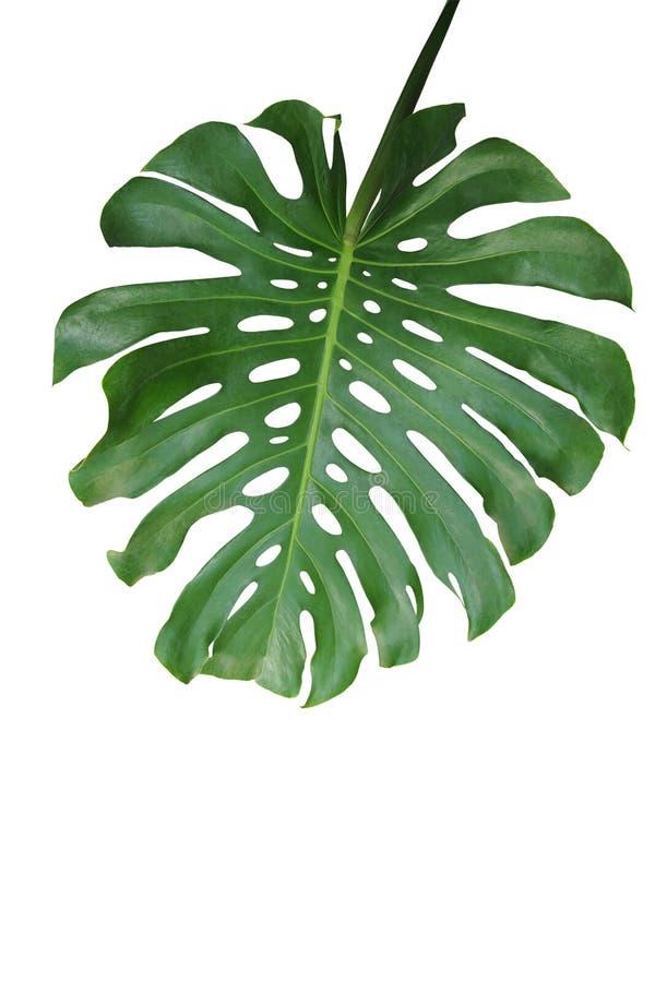 Deliciosa verde tropical de Monstera de la hoja, el philodend de la fractura-hoja imagenes de archivo