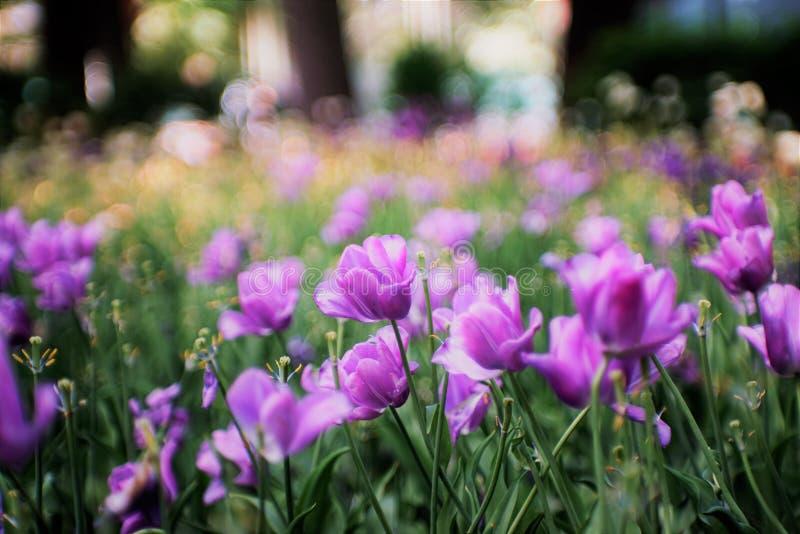 Deliciosamente tulipas na flor completa tulipas roxas, raras foto de stock