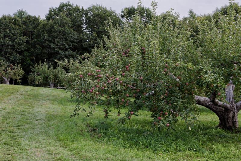 Delicioso fresco da exploração agrícola do pomar de Apple você picareta foto de stock royalty free