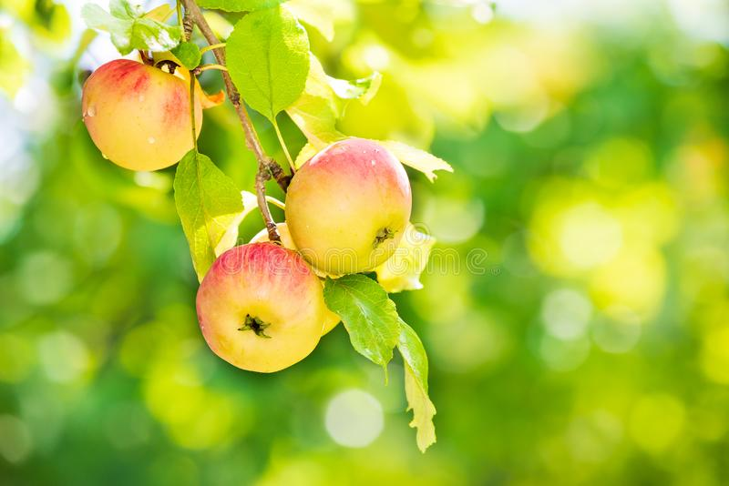 Delicious apples ripening on tree branch royalty free stock photography