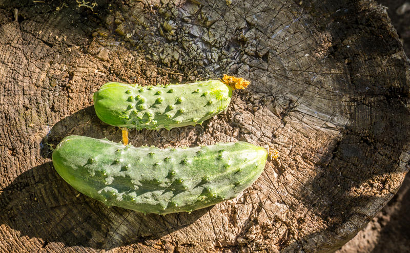 Delicious cucumbers-gherkins on the background of old wooden planks. Rustic eco style royalty free stock photography