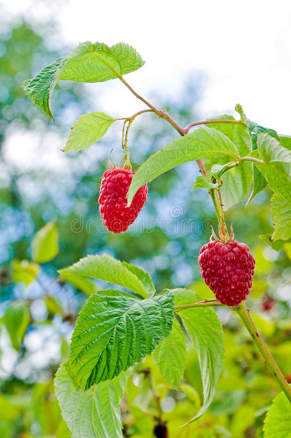 Delicious first class fresh growing raspberries - nature stock photos