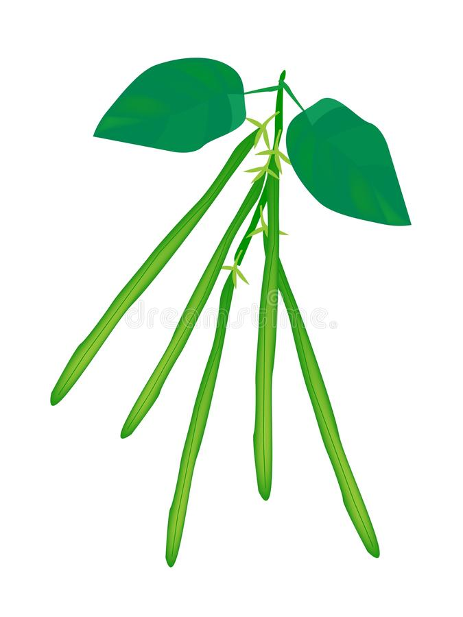 Delicious Fresh Green Beans on A Plant vector illustration