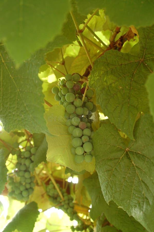 Delicious Green Grapes stock photos