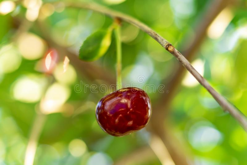 Delicious juicy cherry hanging on a branch. Defocus dreamy image of summer nature. Single cherry as a symbol of. Loneliness. Conception of singleness and royalty free stock photography