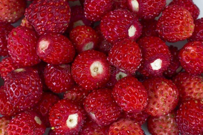 Bright ripe wild strawberries  - many berries-close-up super macro royalty free stock image