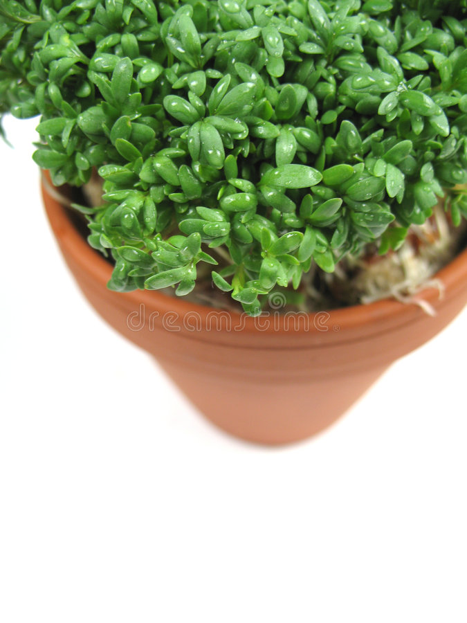 Delicious watercress. In a pot royalty free stock photos
