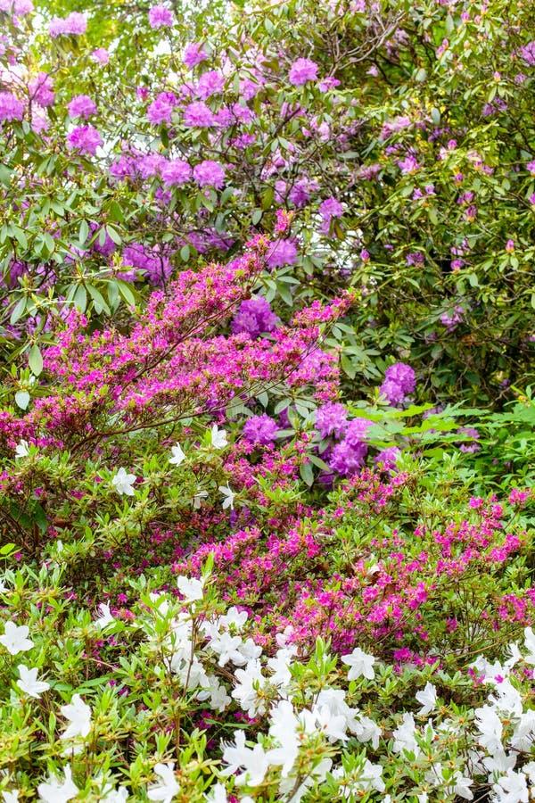 Delightful background of lush blooming azalea bushes royalty free stock images