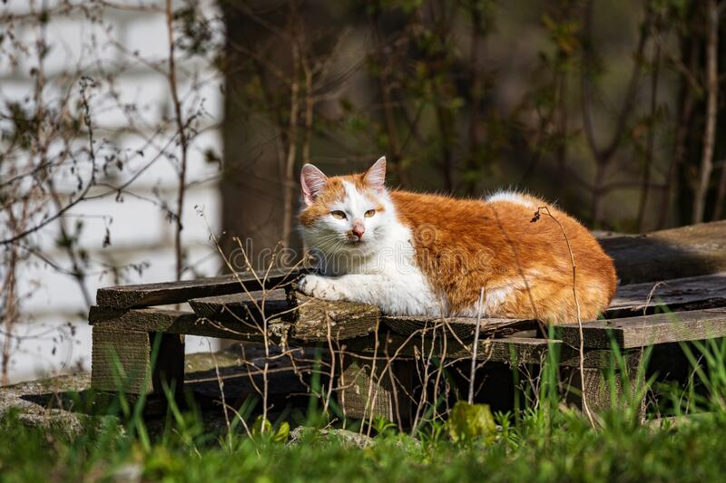 A delightful cat lies in a dirty corner in the open air and looks at the photographer. Sunny day in the park. Domestic cat. Pets. Close-up stock photos
