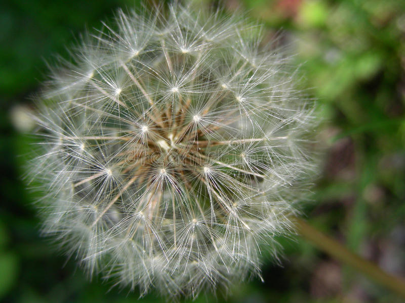 Delightful Dandelion!. We allow our dandelions to grow in our lawn and garden beds. They provide a natural food source for bees and cottontails. The cottontails stock photos