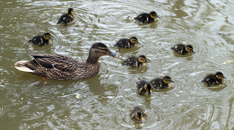 Delightful Ducklings stock photo