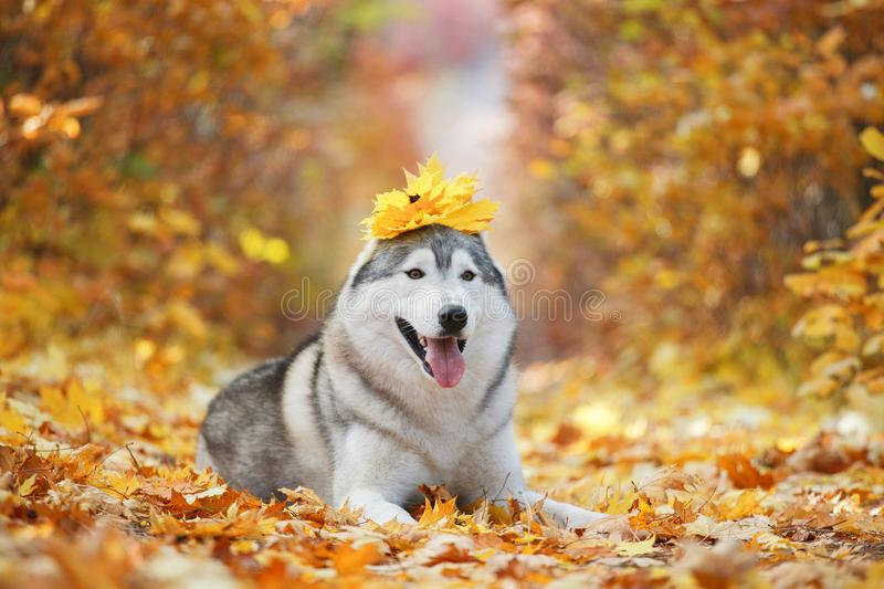 A delightful gray husky lies in the yellow autumn leaves with a. Crown of leaves on his head and takes pleasure. Dog on a natural background royalty free stock photography