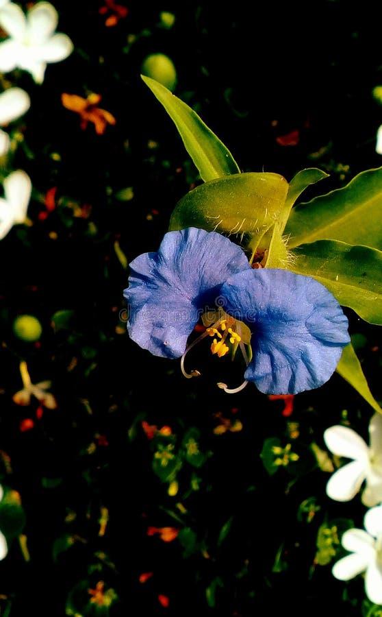 Delikat blå vildblomma royaltyfri bild