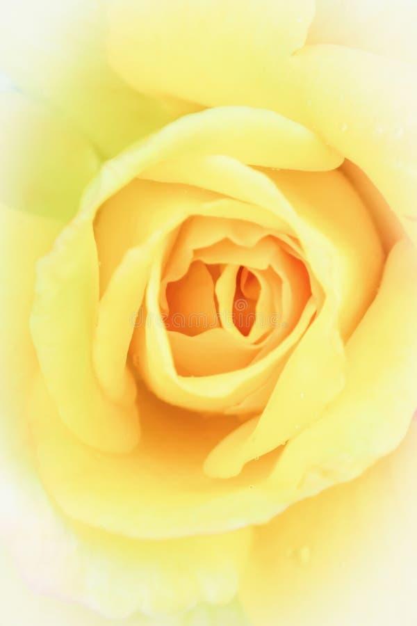 Delikat gul ros i mjuk stil för bakgrund Pastellfärgat och mjukt blom- kort arkivbild