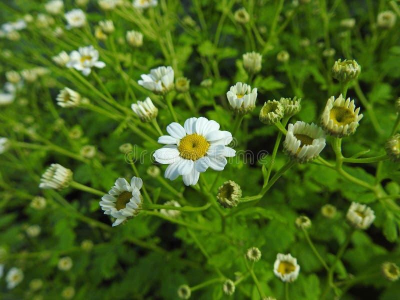 Delikat kronblad för huvud för sommartusenskönatusenskönor som blommar trädgården för sommar för blomblommaväxter arkivfoton