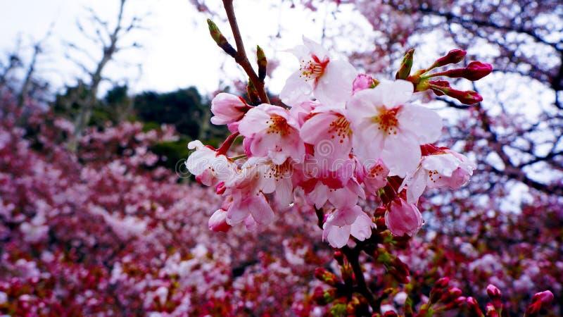 Delikat rosa körsbärsröd blomning i regnet royaltyfri bild