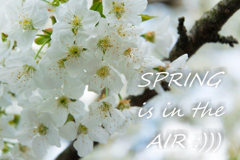 Delikat vit bakgrund för blommor för körsbärblomning med text arkivfoton