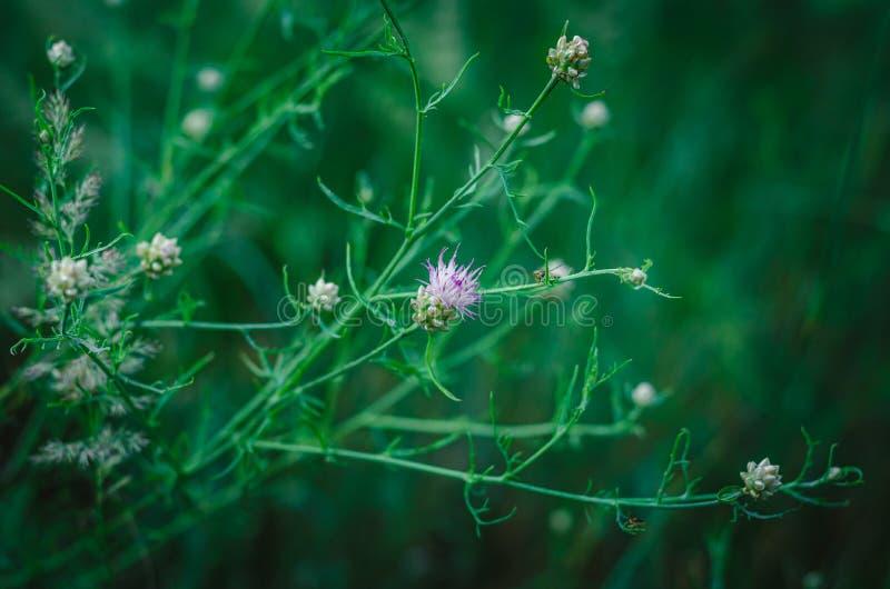 Delikat vit-lila ängblomma på en bakgrund för grönt gräs Selektivt fokusera suddighet bakgrund placera text arkivfoton