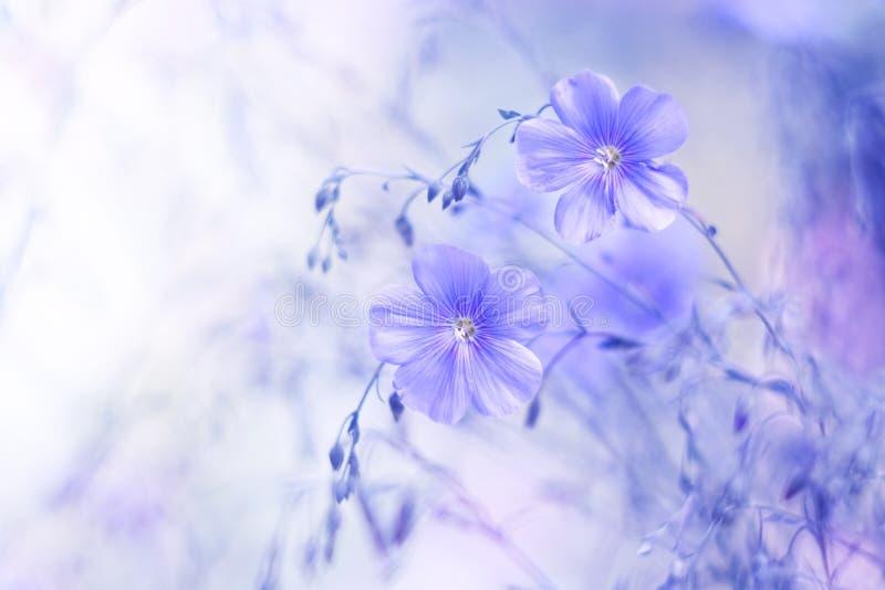 Delikata blåa blommor av lin på en härlig suddig bakgrund Drömlik konstbild, härlig naturlig bakgrund Selektivt fokusera royaltyfria bilder