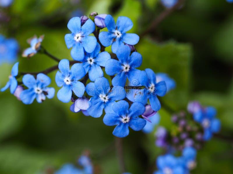 Delikata blåa förgätmigejblommor i vår arkivbild