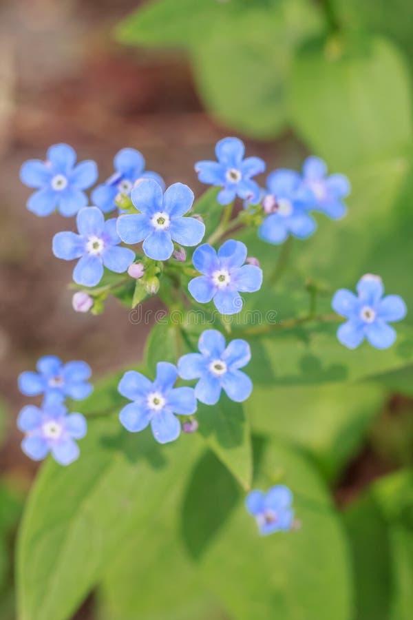 Delikata blått för vår glömma-mig-nots blommor royaltyfria bilder