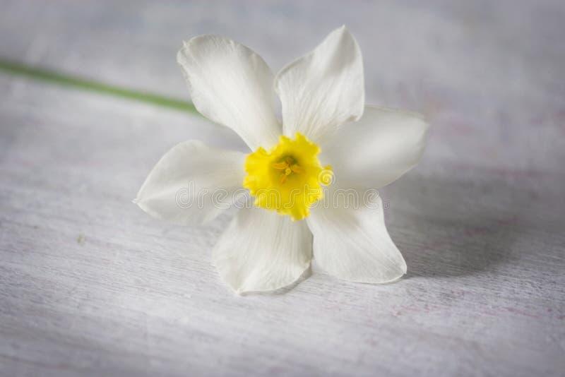 Delikata blommanarciss fotografering för bildbyråer