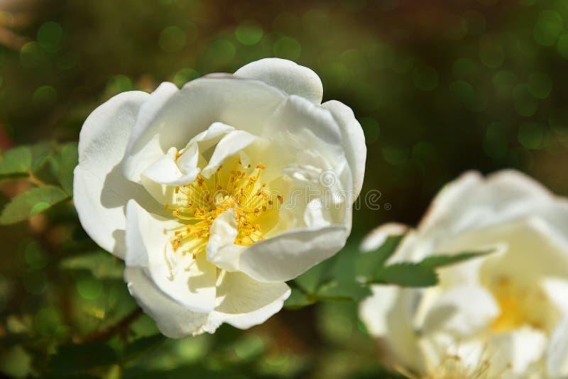 Delikata blommor av den vita trädgården steg höfter på taggiga buskar med oval grönaktig bokeh arkivbild