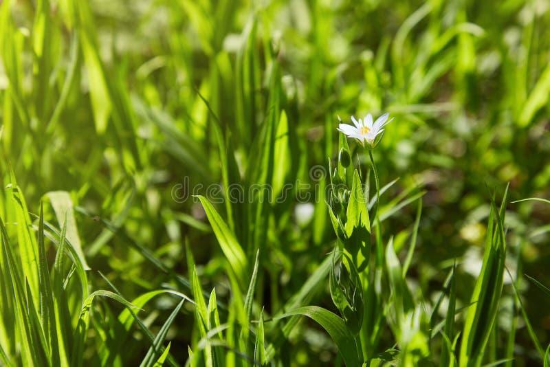 Delikata blommor för vit stellaria Stellariatillväxt i fält, fotografering för bildbyråer