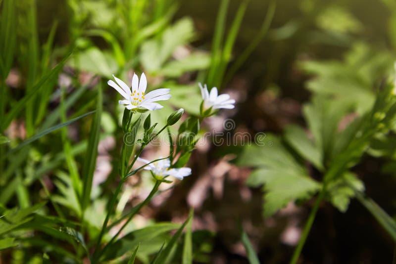 Delikata blommor för vit stellaria Stellariatillväxt i fält, arkivfoto