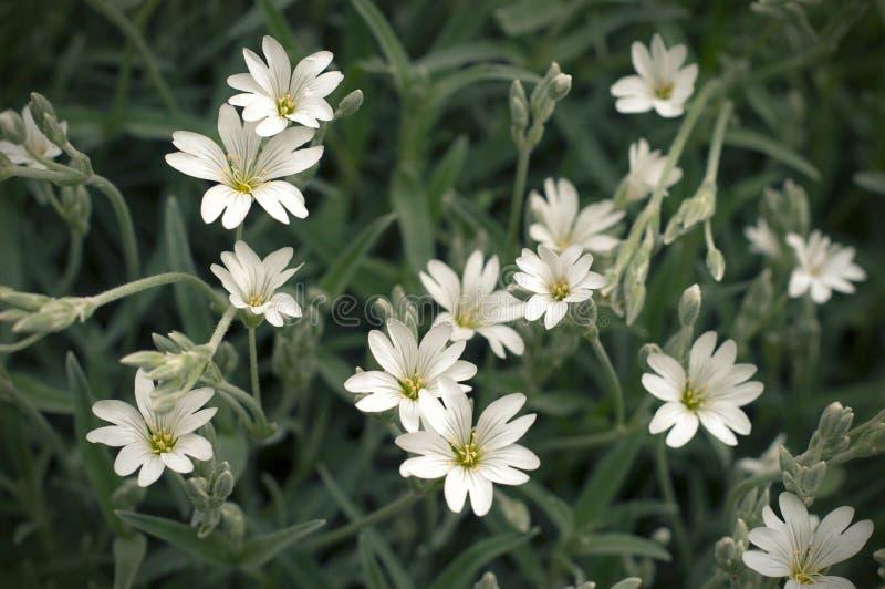 Delikata blommor f?r vit stellaria Stellariatillväxt i fältet, Caryophillaceae royaltyfri foto