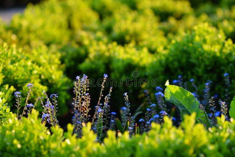 Delikata blommor glömma-me-i nightshaden på makro arkivfoton
