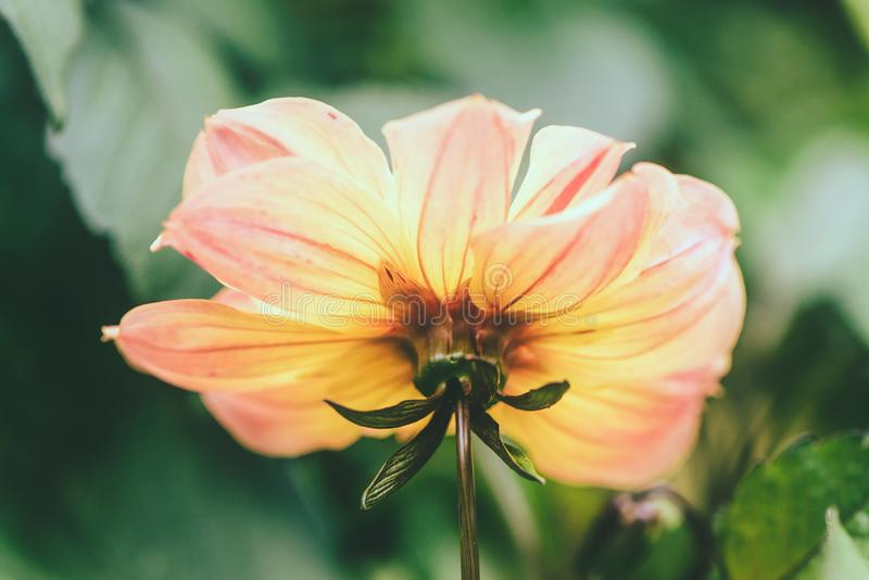 Delikata dahliablommor p? suddighetsnaturen g?r gr?n bakgrund H?rliga tr?dg?rdblommor fotografering för bildbyråer