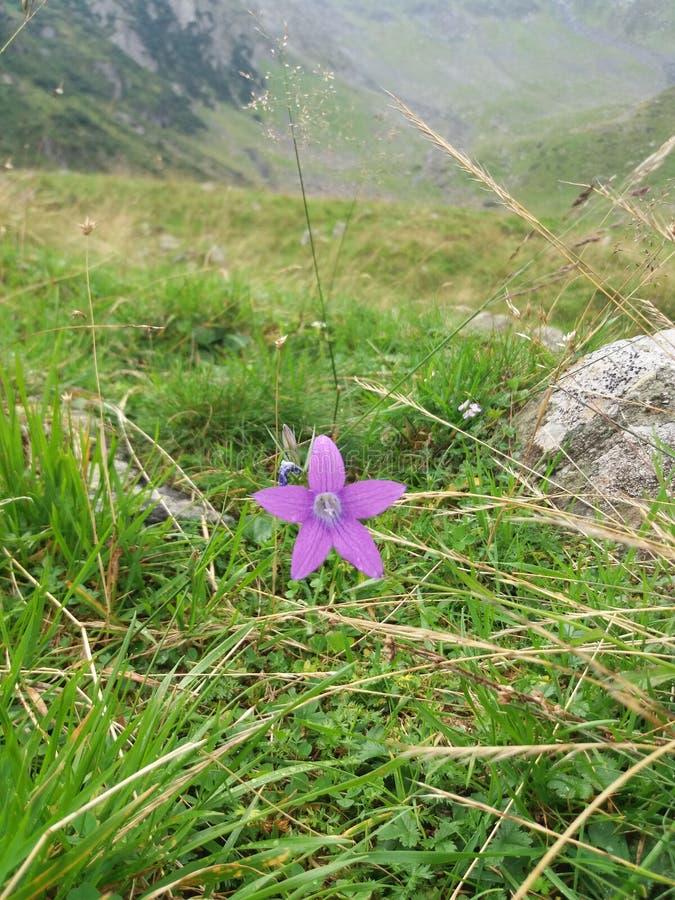 Delikata enkla lilor blommar closeupen mot gräs- dalbakgrund royaltyfri foto