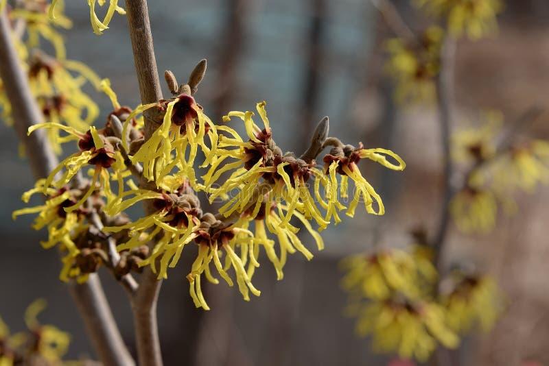 Delikata gula blommor av trollhasslet arkivfoto
