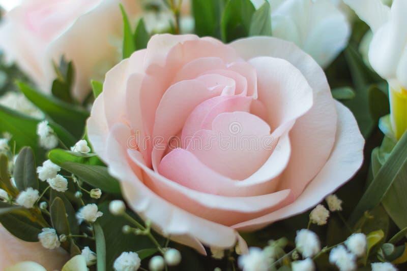 Delikata kronblad av en rosa färgros royaltyfria bilder