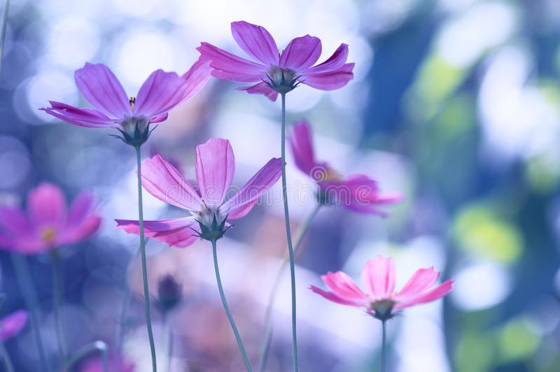 Delikata lösa blommor av en purpurfärgad färg på en härlig bakgrund royaltyfri foto