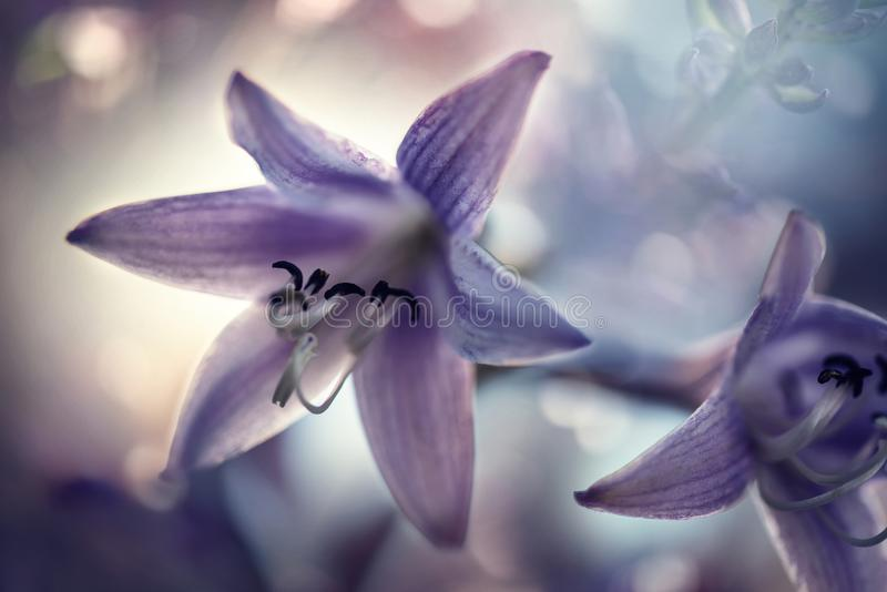 Delikata purpurfärgade blommor av hostaen arkivbild