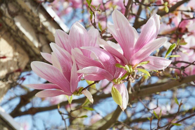 Delikata rosa blommor av att blomstra tr royaltyfria bilder