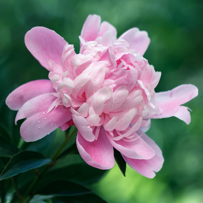 Delikata rosa pioner i tr?dg?rden royaltyfri foto