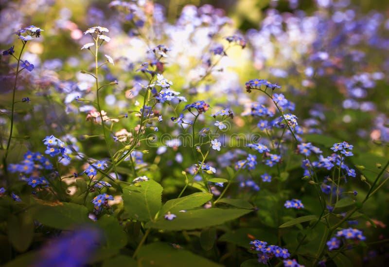 Delikata små förgätmigejblommor av olika skuggor av blått och rosa färger fick den trötta på våren soliga trädgården royaltyfri foto