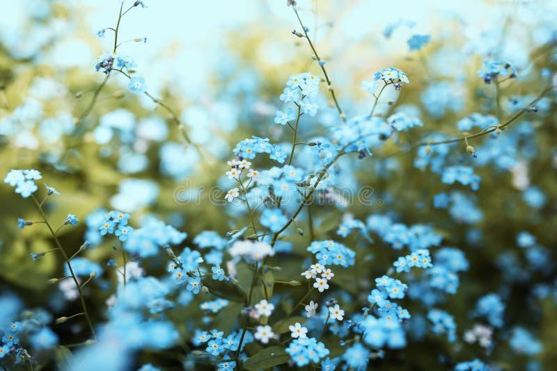 Delikata små förgätmigejblommor av olika skuggor av blått och rosa färger fick den trötta på våren soliga trädgården royaltyfria bilder