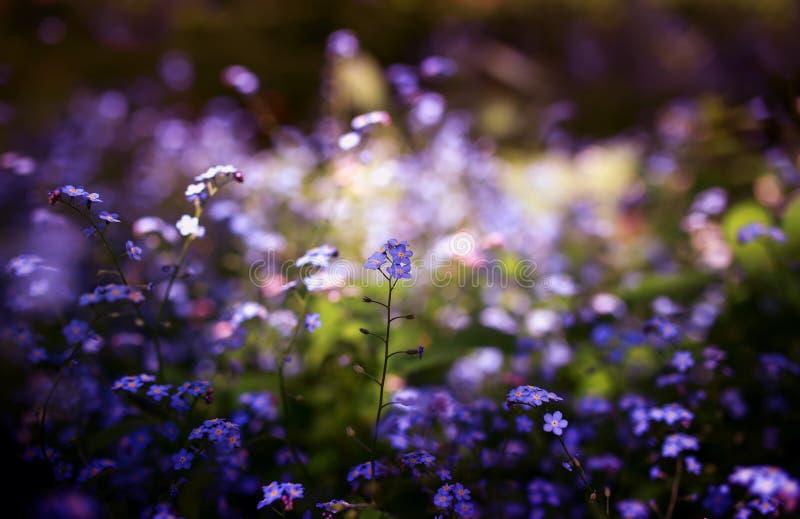 Delikata små förgätmigejblommor av olika skuggor av blått och rosa färger fick den trötta på våren soliga trädgården fotografering för bildbyråer