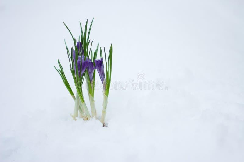 Delikata vårblommor gör deras väg från under den insnöade vintern royaltyfri fotografi