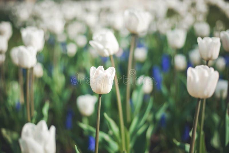 Delikata vita tulpan, härlig delikat vårbakgrund och textur, retro tonad bild royaltyfri bild